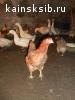 Птица домашняя разная на племя живьем с молодняком